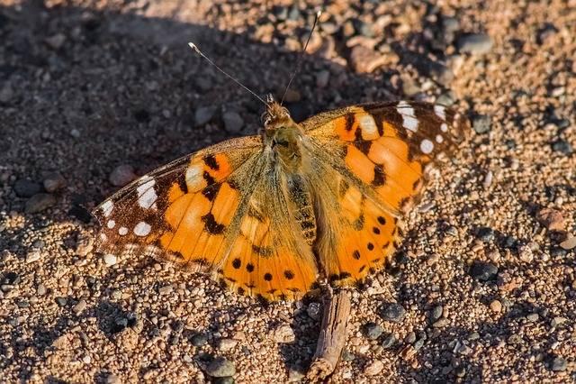 Ile skrzydeł ma motyl?