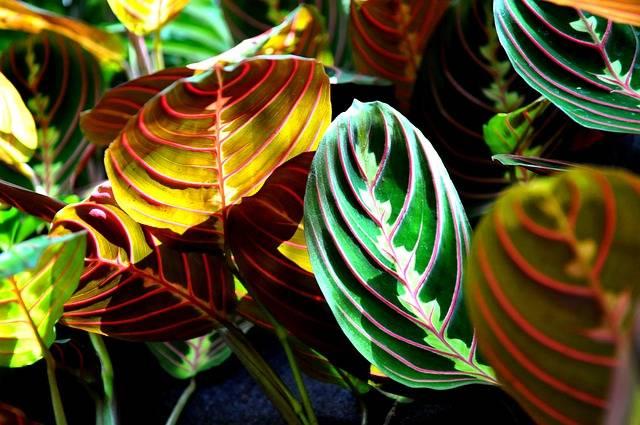 kwiat doniczkowy cieniolubny maranta