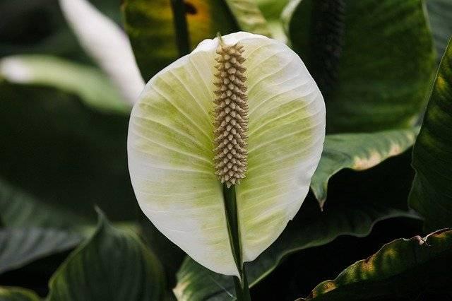 roślina Skrzydłokwiat