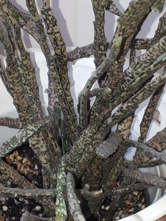 Euphorbia platyclada martwa roślina
