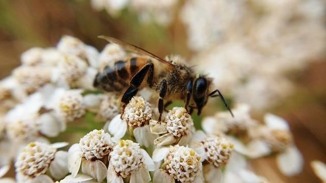 owady zapylające pszczoły