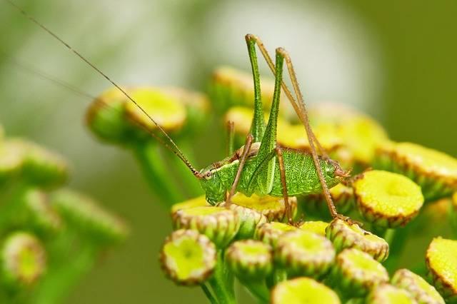pożyteczne owady w ogrodzie konik