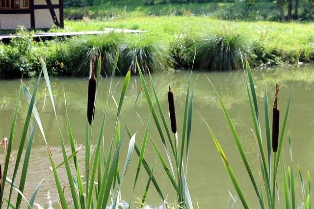 rośliny nad oczko wodne tatarak