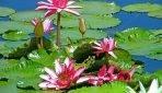 Lilie wodne do oczka wodnego