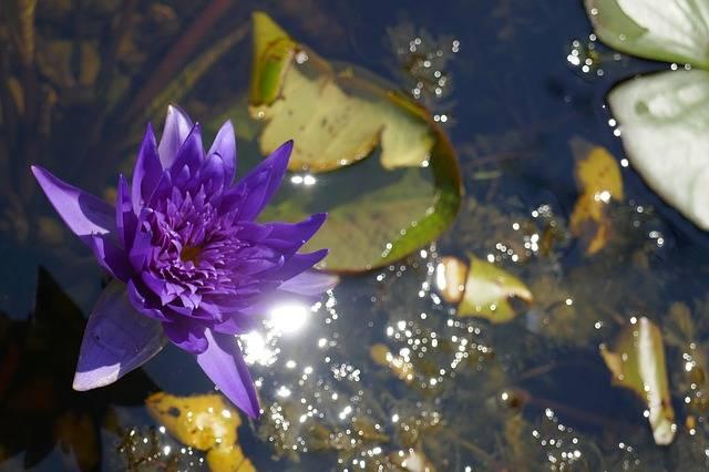 lilia wodna purpurowa