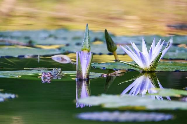 lilia wodna w oczku wodnym