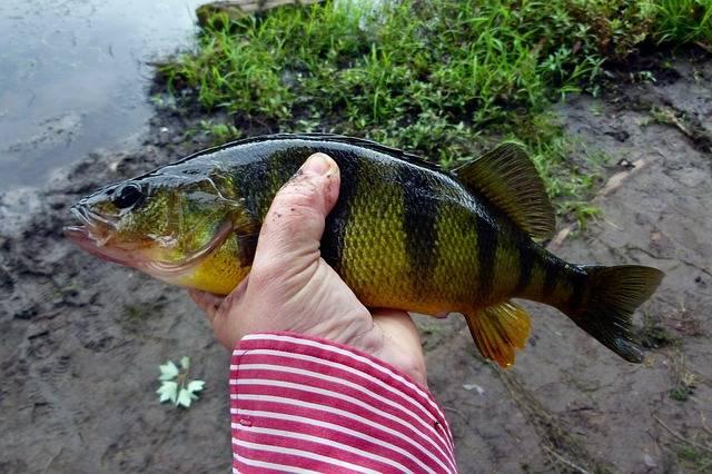 ryby do oczka wodnego okoń