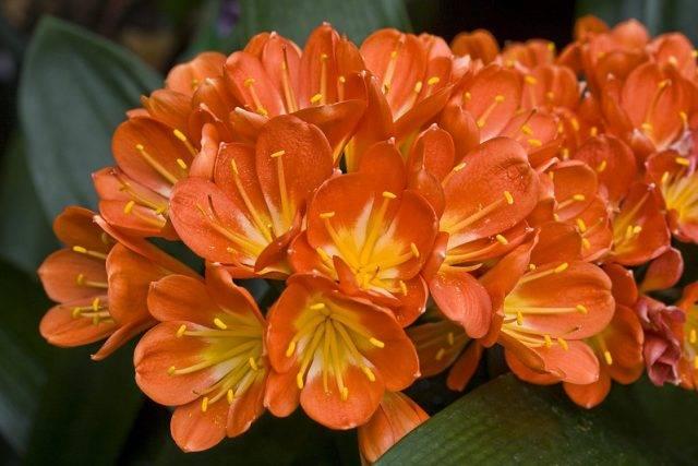 kliwia cynobrowa kwiaty