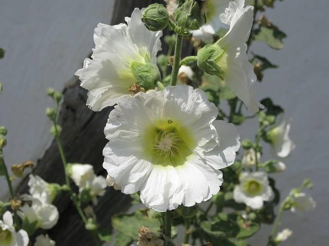 malwa ogrodowa biała