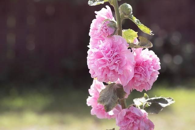 malwa ogrodowa różowa pełna