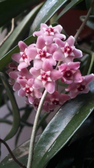 Hoya sherpendii longifolia