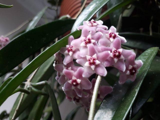 kwiaty Hoya sherpendii longifolia