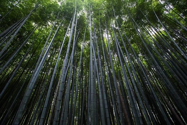 rosnący bambus