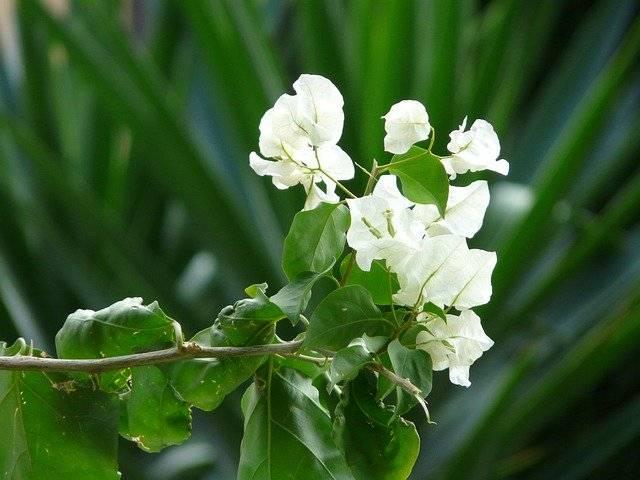 bugenwilla biała