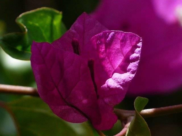 bugenwilla kwiat