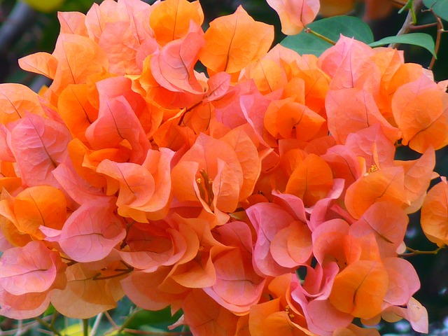 bugenwilla pomarańczowa