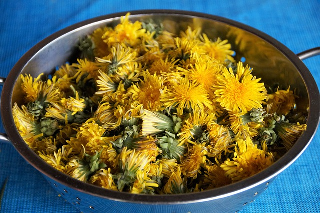 kwiaty mniszka lekarskiego