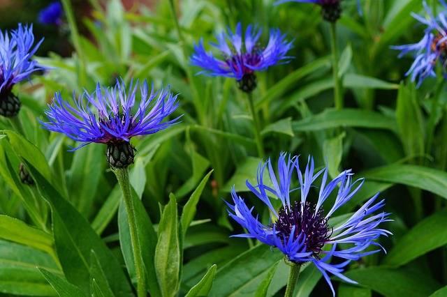 kwiaty chabra