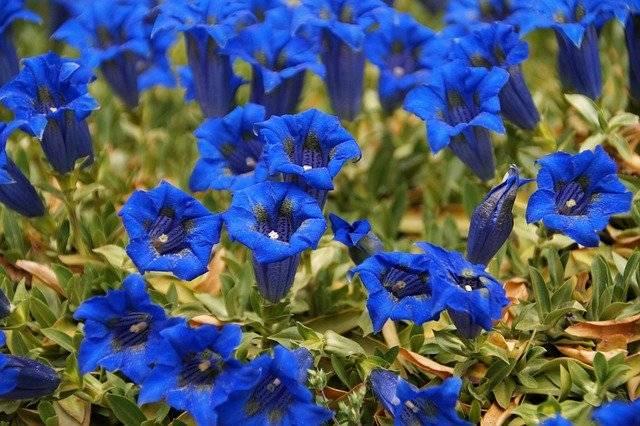 niebieski ogród kwiaty goryczki