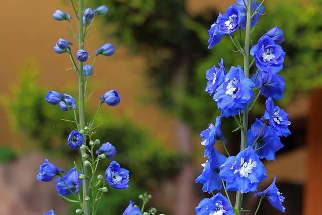 niebieski ogród roślina o niebieskich kwiatach ostróżka