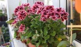 Choroby roślin balkonowych