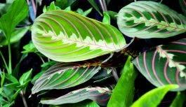 Maranta leuconeura Fascinator Tricolor