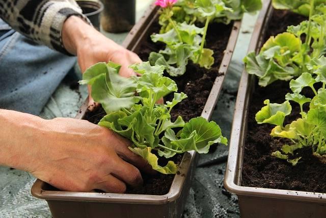 choroby roślin balkonowych - sadzenie w nowej ziemi