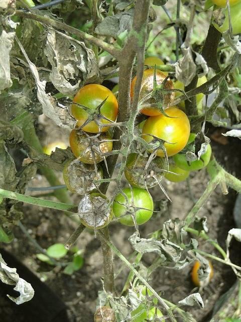 choroby pomidorów zaraza ziemniaczana
