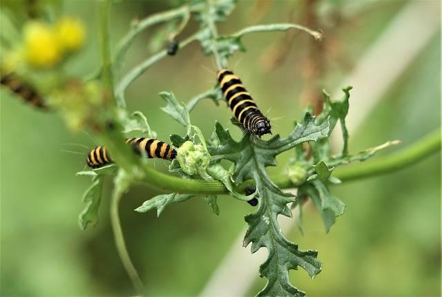 czy rośliny czują gąsienica żerująca