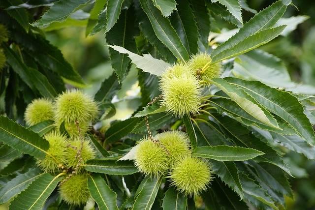 kasztan jadalny drzewo