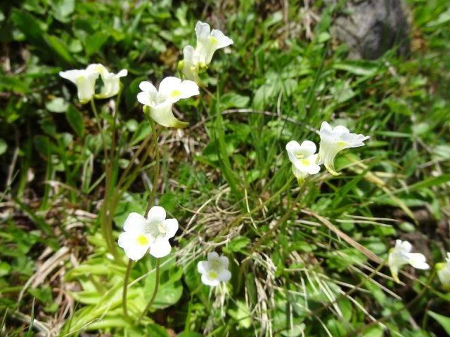 Rośliny owadożerne występujące w Polsce tłustosz alpejski