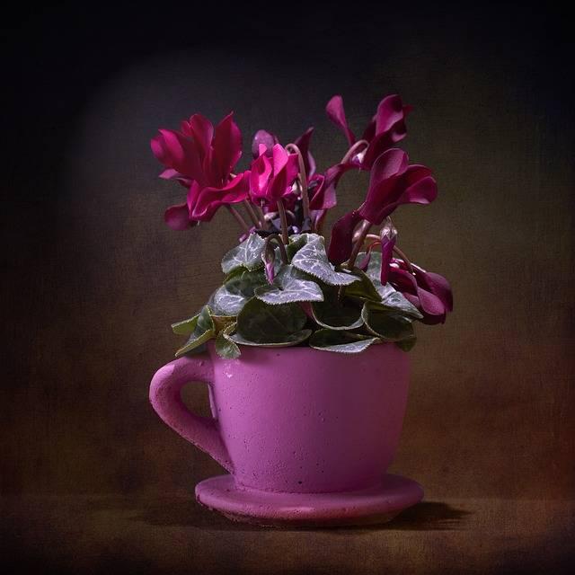 kwiat doniczkowy cyklamen
