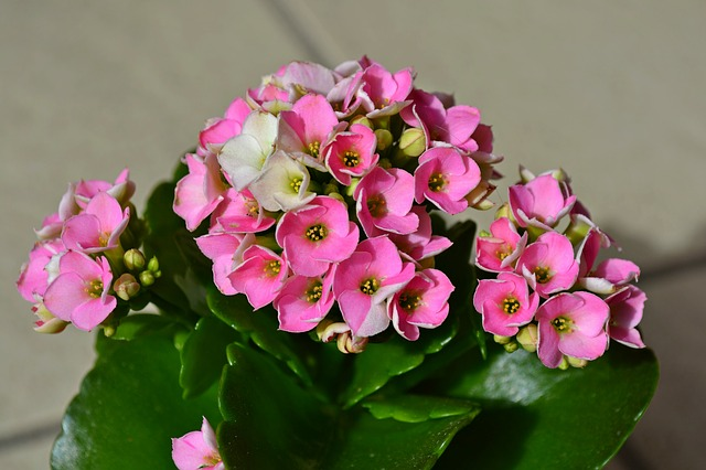 roślina doniczkowa kwitnąca cały rok Kalanchoe