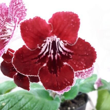 Skrętnik Streptocarpus strawberry