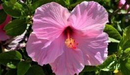 Czy kwiaty hibiskusa są jadalne?