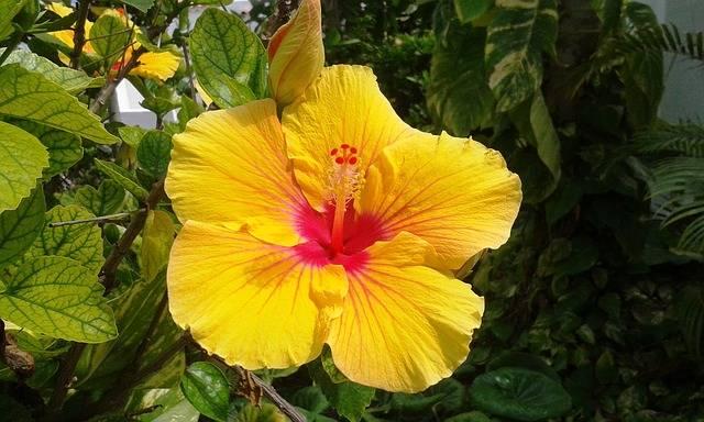 czy kwiaty hibiskusa są jadalne
